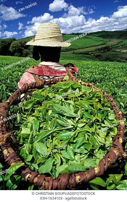 harvesting in tea plantation camellia sinensis of Sahambavy, Republic of Madagascar, Indian Ocean