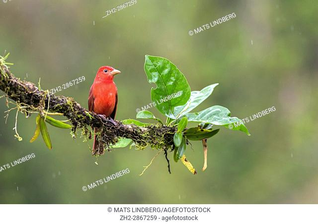 Summer Tanager, Piranga rubra sitting in a tree at Laguna del Lagarto, Boca Tapada, san Carlos, Costa Rica