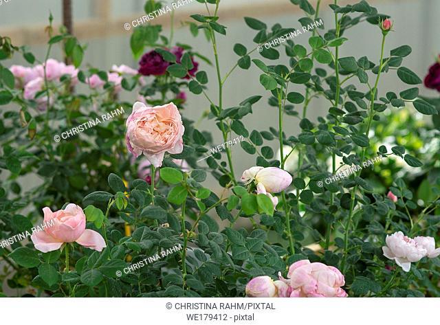 Beautiful coral pink rose flowers closeup. Spring garden series, Mallorca, Spain