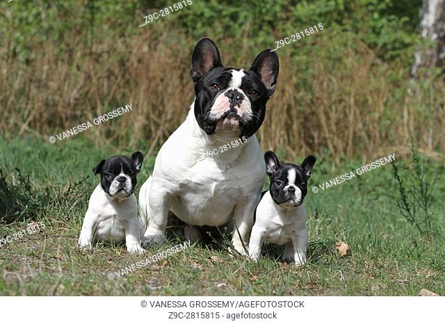 Dog French Bulldog Adult and puppy