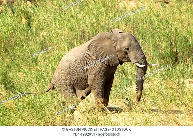 African Elephant (Loxodonta africana), in the reeds. The Common Reeds (Phragmites australis) are found in wetland, banks and shallows