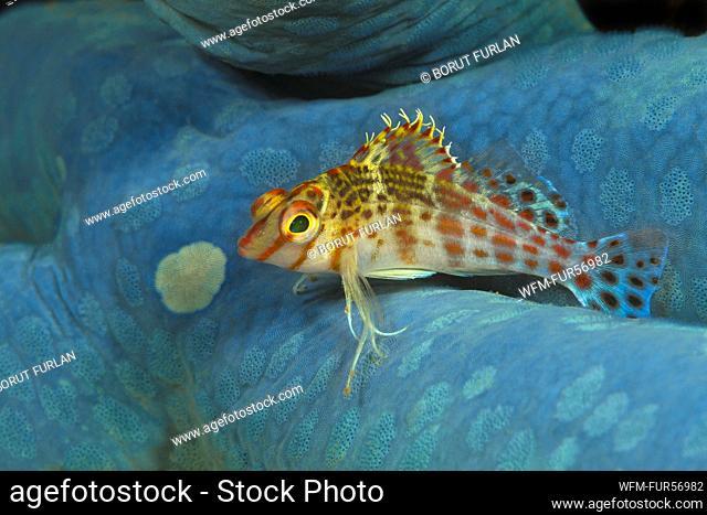 Dwarf Hawkfish on blue Starfish, Cirrhitichthys falco, Flores, Indonesia