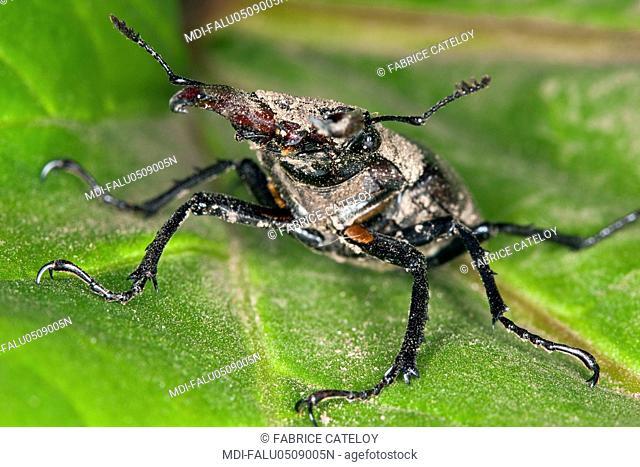 Stag beetle on a leaf