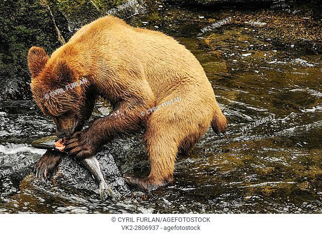 Young Grizzly Eating Salmon Anon Bear Preserve Wrangell Alaska