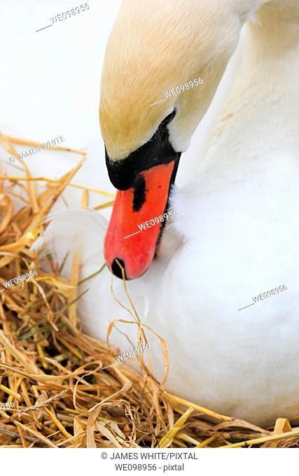 Mute Swan, Höckerschwan, Cygnus olor, breeding, Switzerland