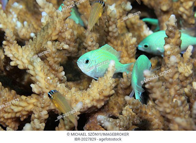 Blue-green Chromis (Chromis viridis), Noonu Atoll, Maldives, Indian Ocean