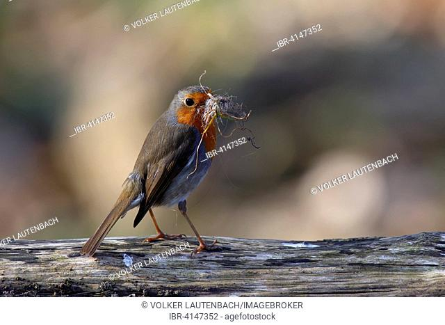 Robin (Erithacus rubecula) with nesting material, Middle Elbe Biosphere Reserve, Saxony-Anhalt, Germany
