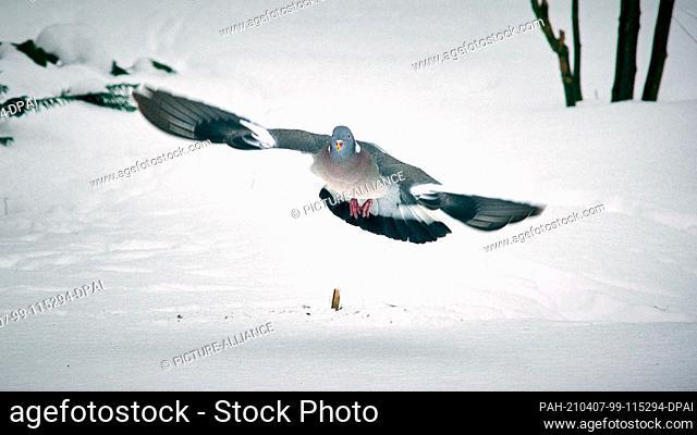 15 February 2021, Lower Saxony, Brunswick: A wood pigeon (Columba palumbus) lands in the snow in a garden in the Watenbüttel district