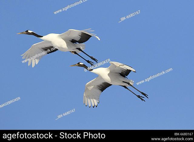Two Manchurian cranes (Grus japonensis) in flight, Akan Crane Center, Kushiro, Hokkaido, Japan, Asia