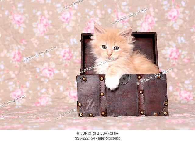 American Longhair, Maine Coon. Kitten (6 weeks old) sitting in a treasure chest, seen against a floral design wallpaper