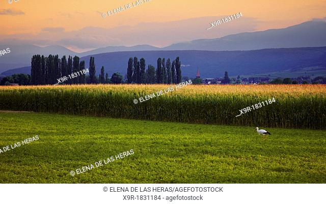 Stork in a maize field landscape, Alsace, Haut-Rhin, France