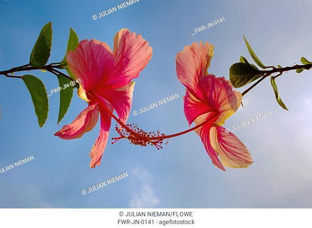 Hibiscus, Hibiscus rosa-sinensis
