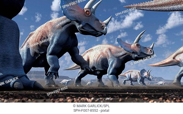Artwork of a herd of triceratops dinosaurs. These animals were common in the late Cretaceous period, from around 70 million years ago until the extinction of...