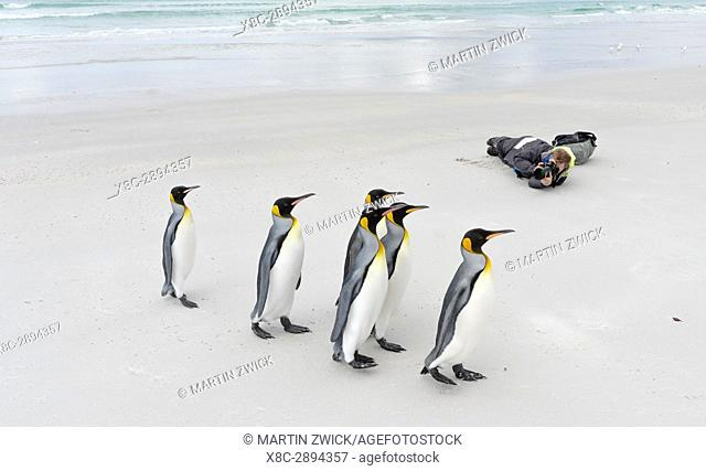 Photographer on beach with King Penguin (Aptenodytes patagonicus) on the Falkland Islands in the South Atlantic. South America, Falkland Islands, January