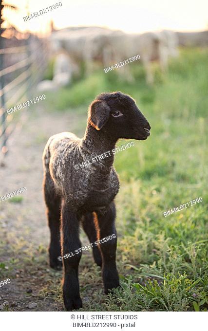 Lamb standing in field on farm