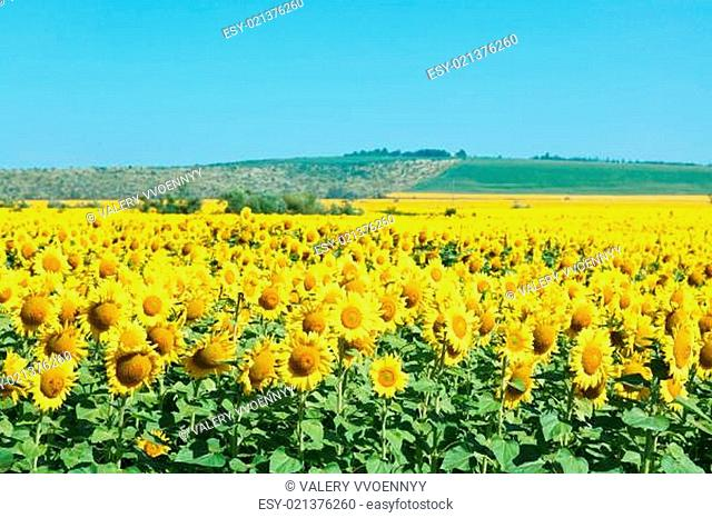 yelow sunflower fields in hill of the Caucasus