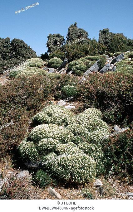 alpine milk-vetch Astragalus angustifolia, blooming plant, Greece, Creta, Lefka Ori