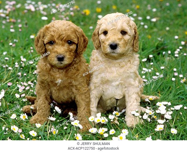 Labradoodle Puppies sitting beside each other in field of baby daisies