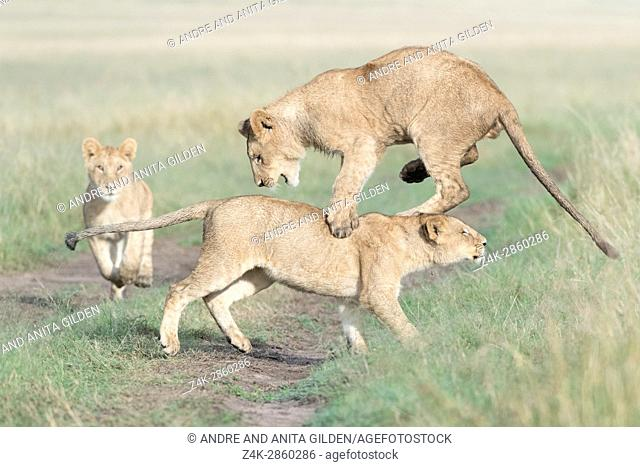 Young lions (Panthera leo) playing together, Maasai Mara national reserve, Kenya