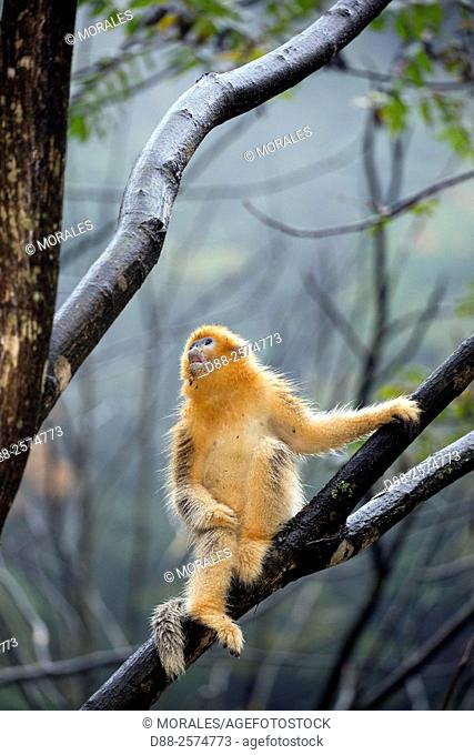 Asia, China, Shaanxi province, Qinling Mountains, Golden Snub-nosed Monkey Rhinopithecus roxellana, in a tree