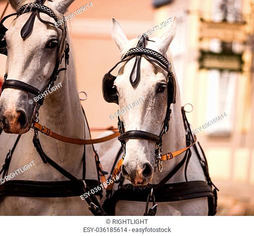 two bridled white horses