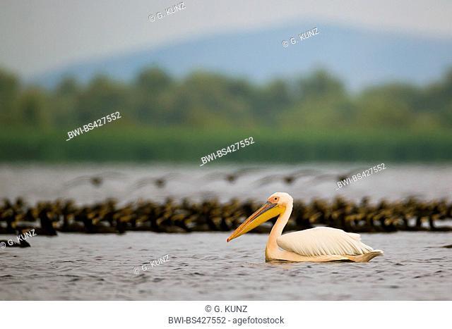 eastern white pelican (Pelecanus onocrotalus), swimming, side view, Romania, Danube Delta