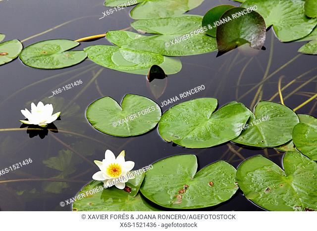 Water lilies in Aros Park near Tobermory, Isle of Mull, Argyll and Bute, Scotland