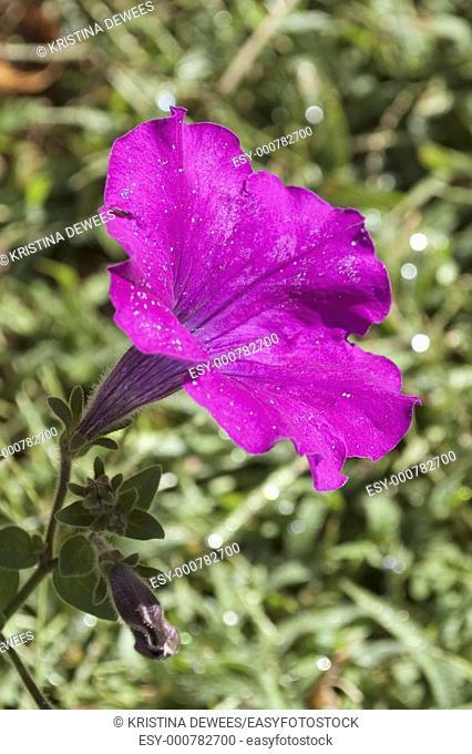 A single bright purple Petunia blossom in the sun