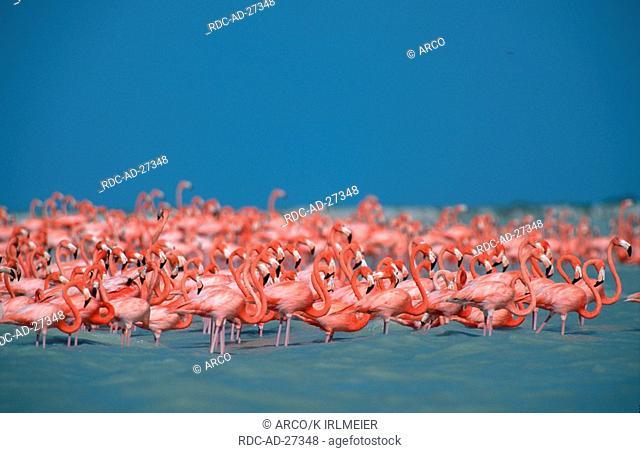 American Flamingos Yucatan Mexico Phoenicopterus ruber ruber