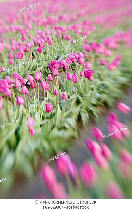 'Negrita' Tulips in farm field w/ blur effect (Tulipa 'Negrita'). Tulip Town, Mt. Vernon, WA