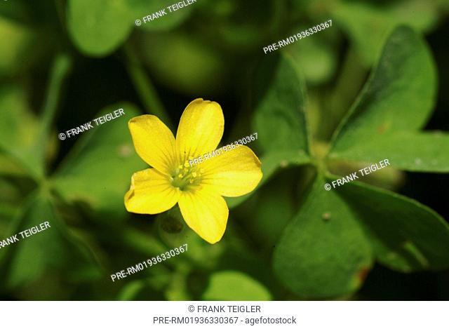 Dillenius' woodsorrel, Oxalis dillenii / Dillenius' Sauerklee, Oxalis dillenii