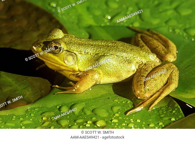 Green Frog with bulging Belly from Grasshopper Prey, Emmet Co., Michigan (Rana clamitans)