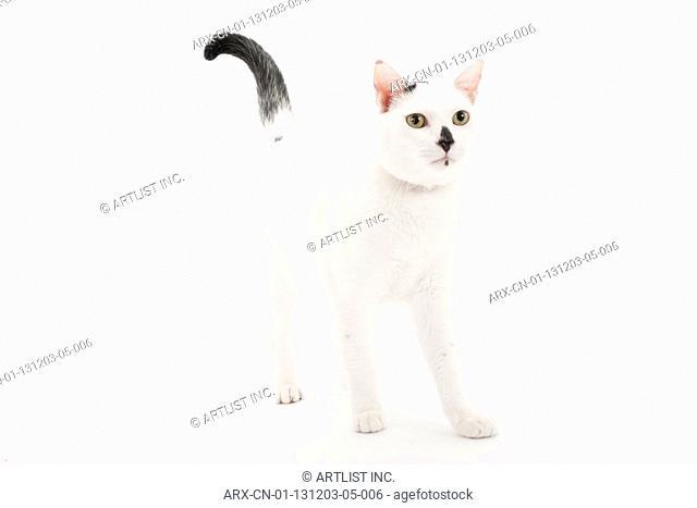 A standing cat