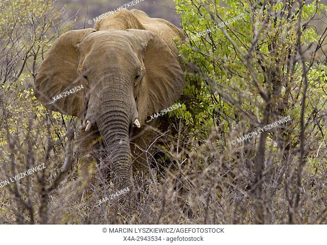 An African elephant (Loxodonta africana) in a bush, Etosha National Park, Namibia
