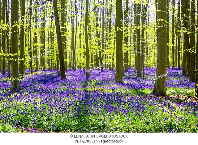 Belgium, Vlaanderen (Flanders), Halle. Bluebell flowers (Hyacinthoides non-scripta) carpet hardwood beech forest in early spring in the Hallerbos forest