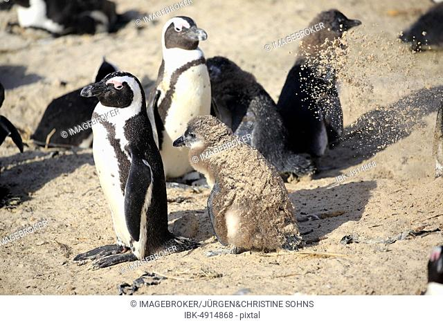 African penguins (Spheniscus demersus), adult, with young animals, on the beach, sandbath, Boulders Beach, Simon's Town, Western Cape, South Africa, Africa