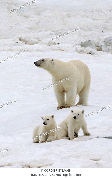 Russia, Chukotka autonomous district, Wrangel island, Polar bear (Ursus maritimus), adult female with young one year and a half old