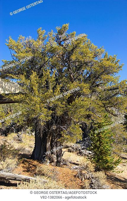 Mountain mahogony along Methuselah Walk National Recreation Trail, Ancient Bristlecone Pine Forest, Ancient Bristlecone National Scenic Byway