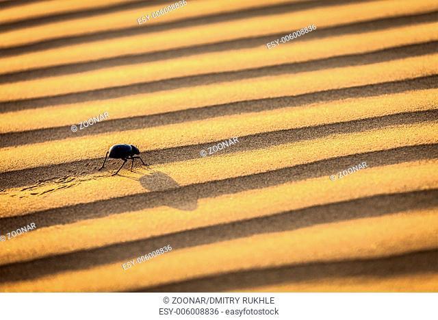 Scarab (Scarabaeus) beetle on desert sand dune