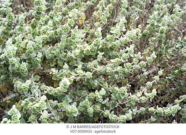 False dittany (Ballota pseudodictamnus) is a shrub native to Greece (Aegean region)