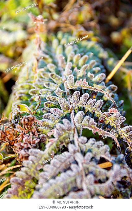 Close up of frozen fern on the top of mountain