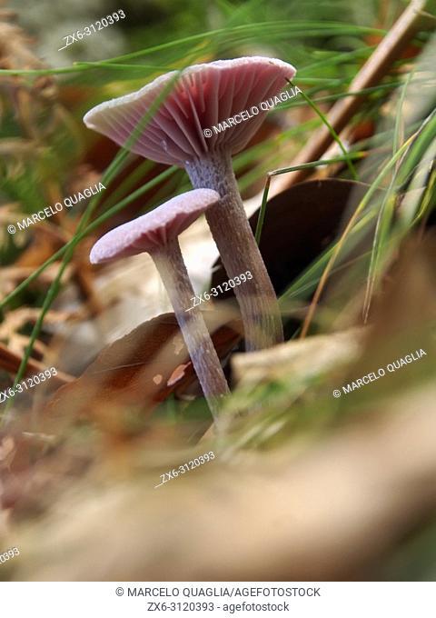 Mushroom. Montseny Natural Park. Barcelona province, Catalonia, Spain