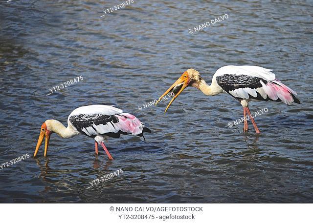 Painted storks (Mycteria leucocephala) in the water. Udawalawe National Park, on the boundary of Sabaragamuwa and Uva Provinces, in Sri Lanka