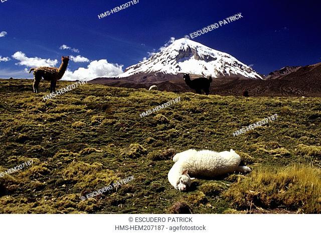 Bolivia, Oruro department, Sajama province, Sajama National Park, young alpacas at the foot of the Sajama stratovolcano 6542 m