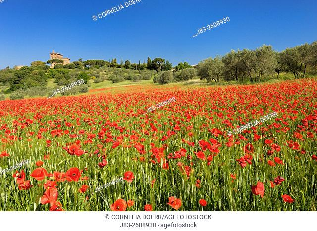 Field of red poppies near Pienza, Val d'Orcia, Orcia Valley, Tuscany Landscape, UNESCO world heritage site, Pienza, Siena Province, Tuscany, Italy