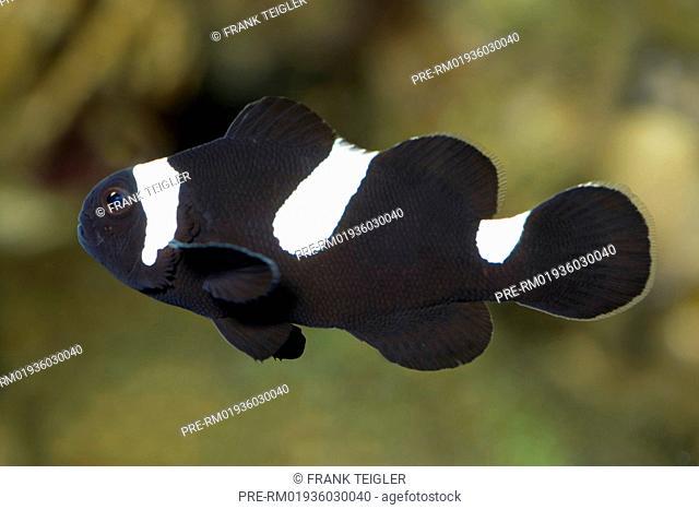 Ocellaris Clownfish (black version), Amphiprion ocellaris / Falscher Clownfisch (schwarze Variante), Amphiprion ocellaris