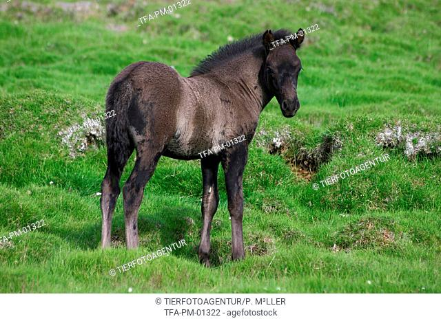 standing Icelandic horse foal