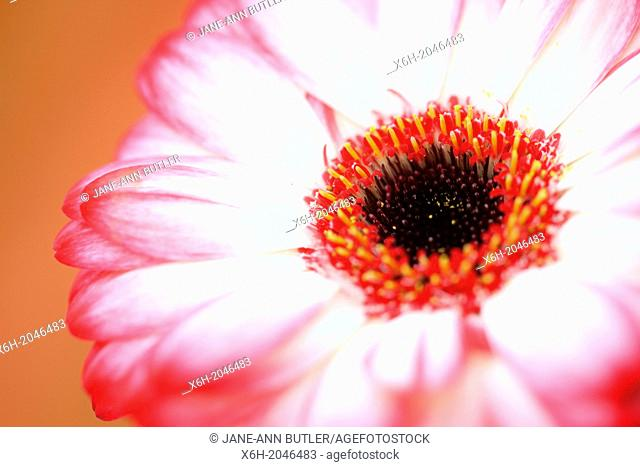 fresh and pure contemporary image of a red tipped gerbera on orange background, still life