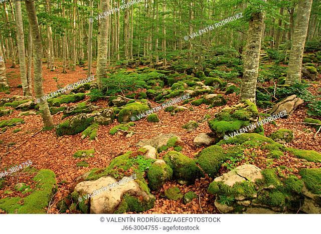 Beech in the natural park Sierra Aralar. Navarra