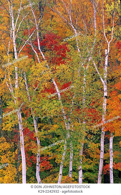 Maples and birch trees in autumn colour along Peabody River, White Mountains National Forest, New Hampshire, USA